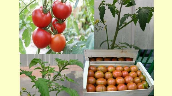 Diagnóstico de la enfermedad del rizado amarillo del tomate en programas de mejora