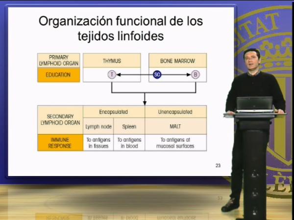 Organización funcional de los tejidos linfoides