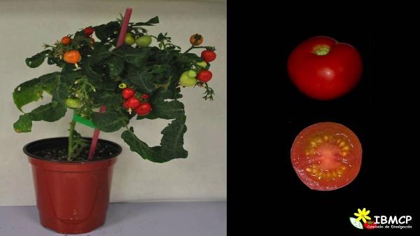 Cómo se forma un tomate