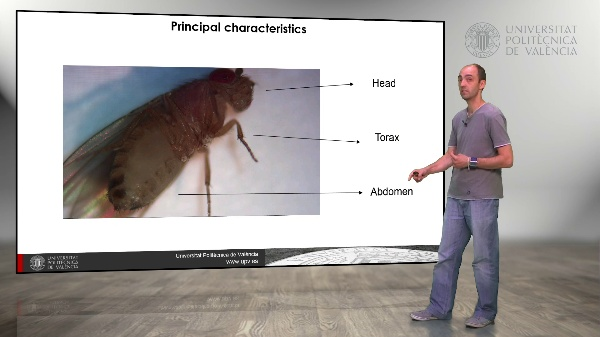 Drosophila melanogaster: Description