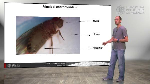 Drosophila melanogaster: Description