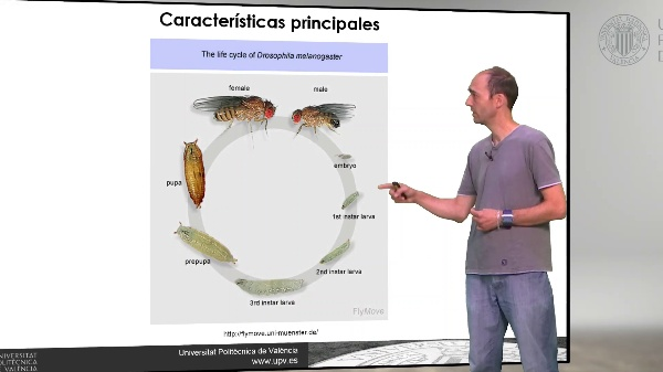 Drosophila melanogaster: Realización de cruces