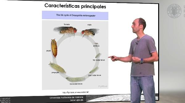 Drosophila melanogaster: Cromosomas politénicos