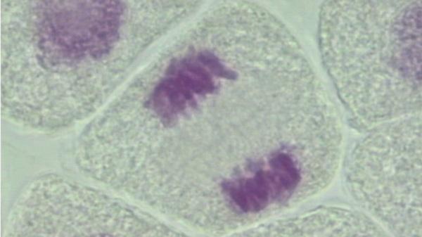 Utilización de la citometría de flujo para analizar la ploidía en plantas