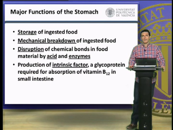 The stomach, phisiological roles