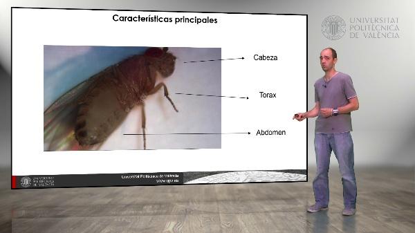 Drosophila melanogaster: Diferencias entre machos y hembras