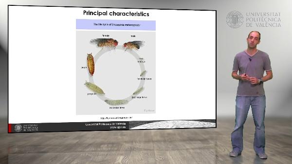 Drosophila melanogaster: Polytene Chromosome