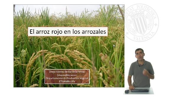 El arroz rojo en los arrozales