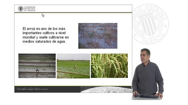 Malas hierbas del arroz