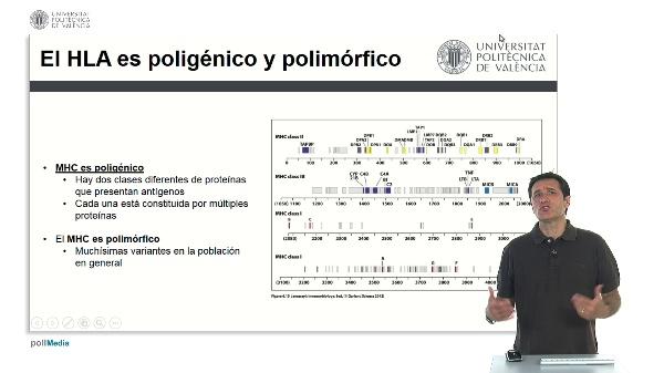 El complejo principal de histocompatibilidad es polimórfico y poligénico