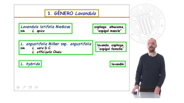 Lamiáceas - Lavándula