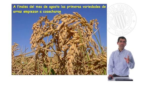 Recolección del arroz en el Parque Natural de la Allbufera de Valencia