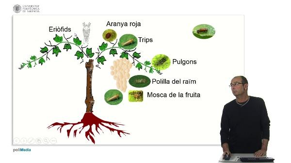 Principals plagues en el cultiu de vinya