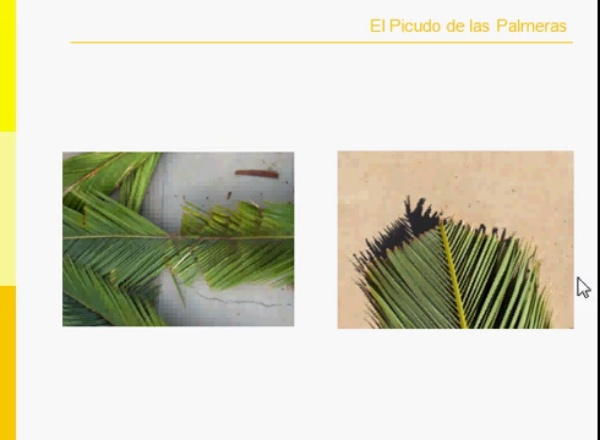 picudo palmeras corto