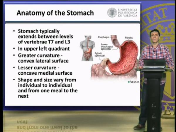Estómago, Anatomía e Histologí