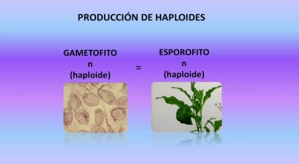CULTIVO DE ANTERAS PARA LA OBTENCIÃ¿N DE PLANTAS HAPLOIDES Y DOBLEHAPLOIDES