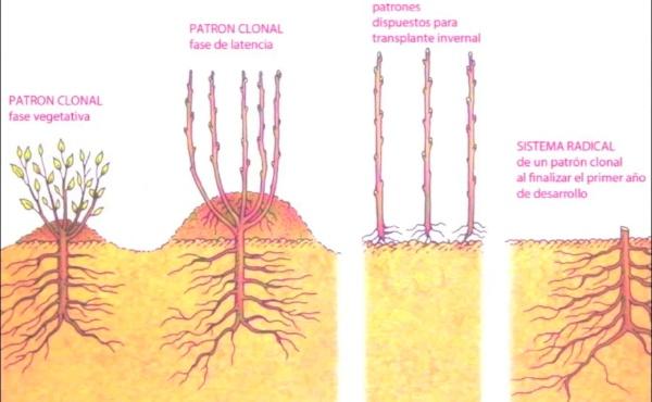 Características diferenciales de pera blanquilla (Pyrus communis L.)