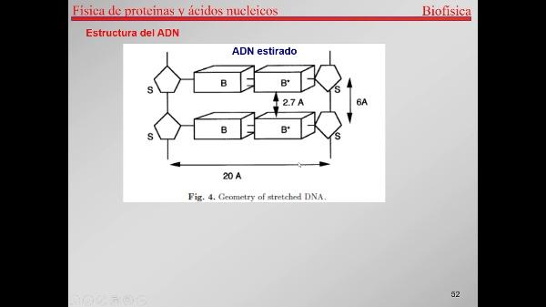 7.-Proteínas T51-T56-Estructura del ADN
