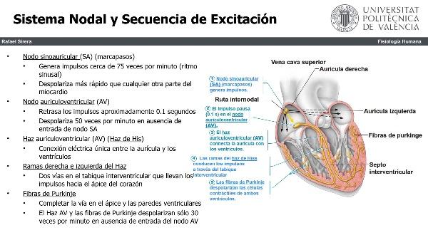 regulacion del ciclo cardiaco
