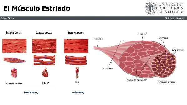 el músculo cardiaco