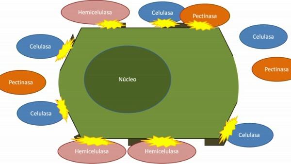 Obtención de Protoplastos vegetales